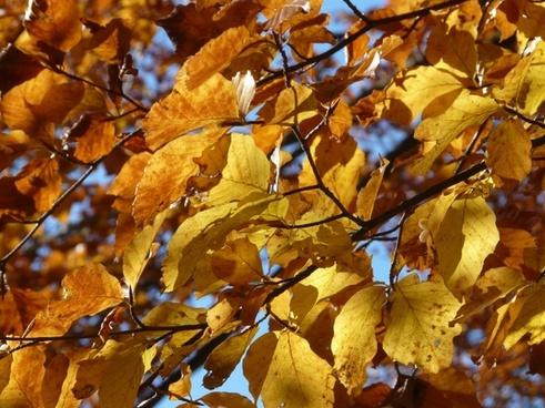 beech beech leaves autumn
