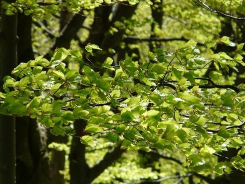 beech beech leaves forest