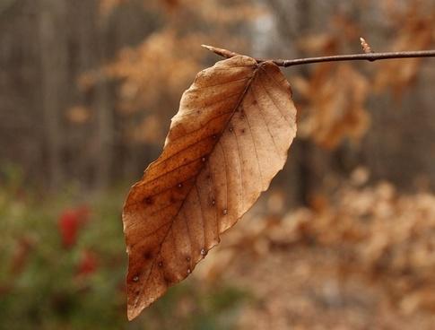 beech leaf winter leaf dried leaves