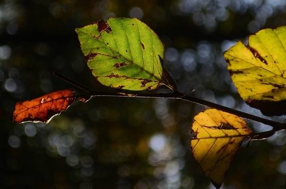 beech leafs in autumn colors