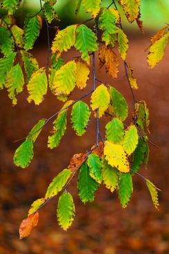 beech leaves branch