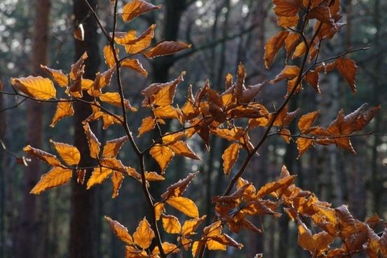 beech leaves leaves back light