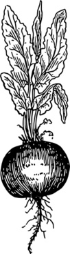 Beet Root clip art