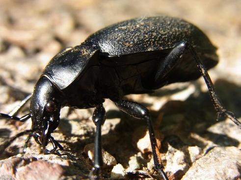 beetle ground beetles carabus