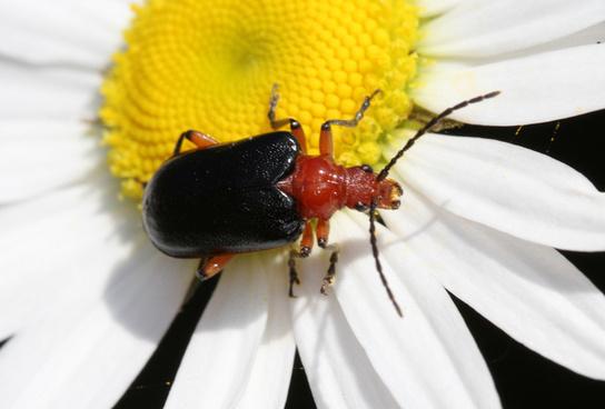 beetle on daisy