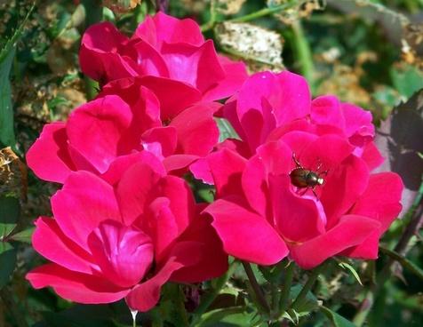beetle on roses