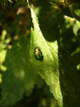 beetle shiny rose gold beetle common rose beetle