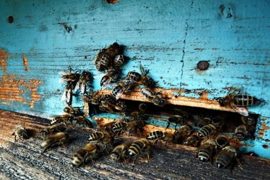 beeyard bees insects