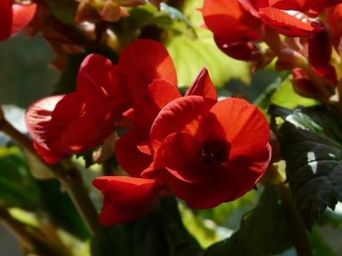 begonia schiefblatt skew sheet plant