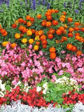 begonias and marigolds french language