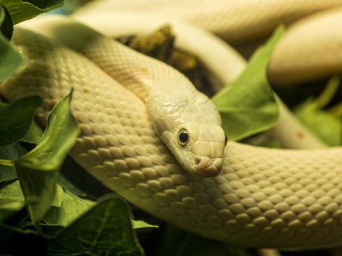 beige yellow snake