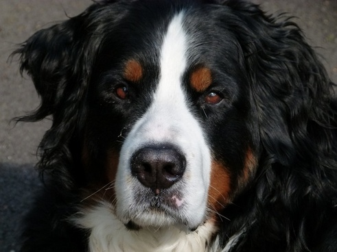 bernese mountain dog canine animal