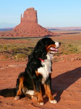 bernese mountain dog canine dog