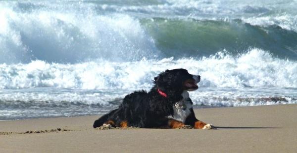 bernese mountain dog canine pet