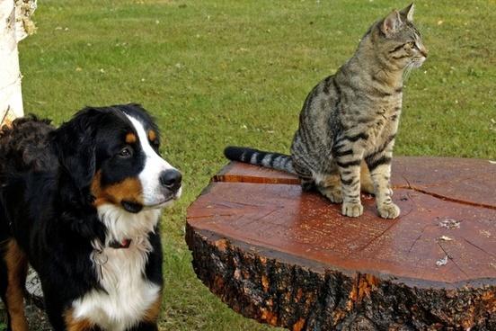 bernese mountain dog canine tabby