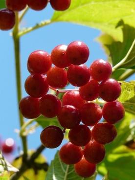 berries red close