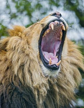 big lion yawn