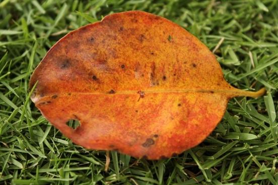big orange leaf