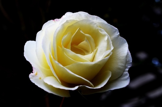 White rose flowers images free stock photos download 16812 free big white roses mightylinksfo