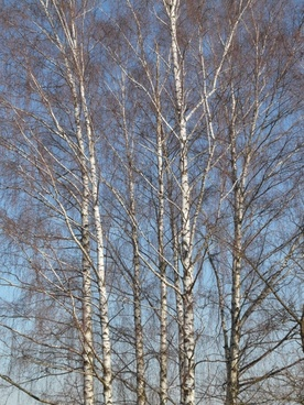birch birch grove trees