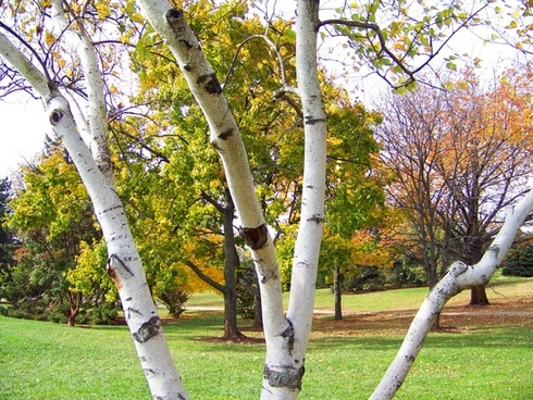 birch tree and other trees