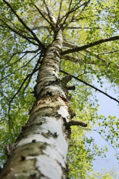 birch tree las