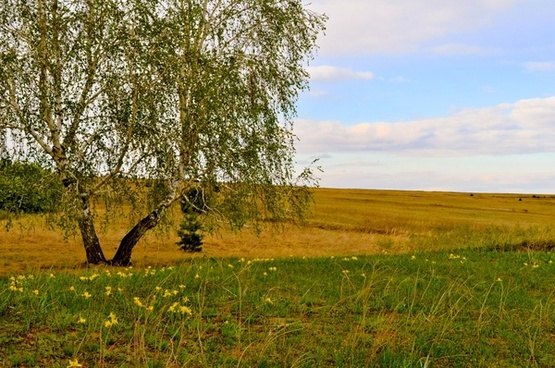 birches in the field