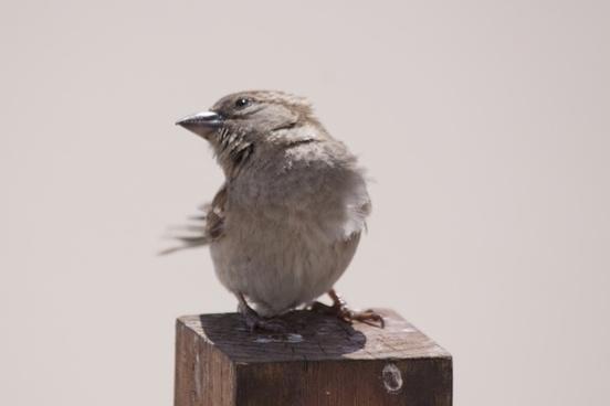 bird animal sparrow