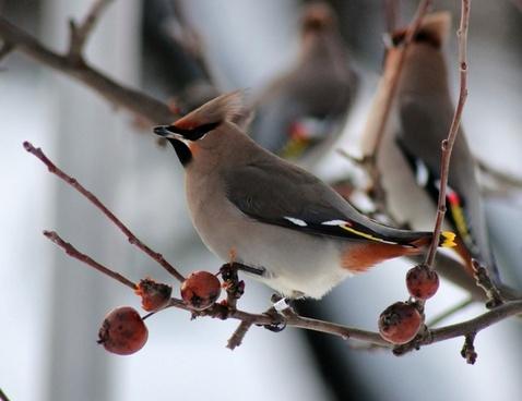 bird birds ringed bohemian waxwing