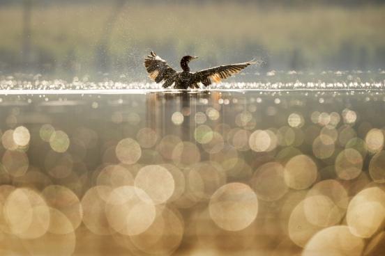 duck swimming on sunshine calm lake