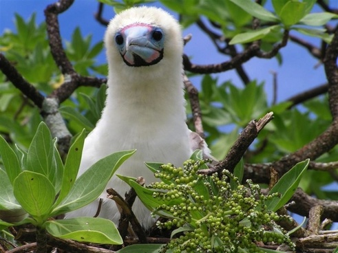 bird booby chick tree