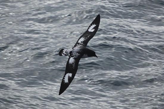 bird cape petrel sea
