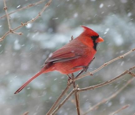 bird cardinal male