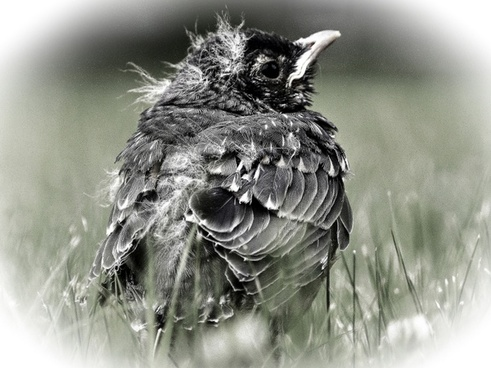 bird chick young