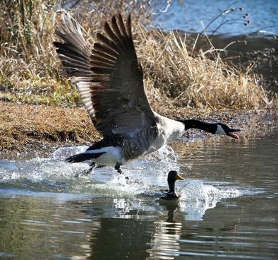 bird creature canada geese