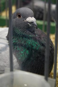 bird dove pigeons