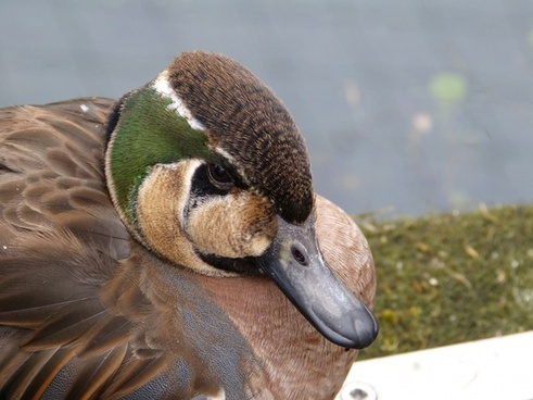 bird duck animal
