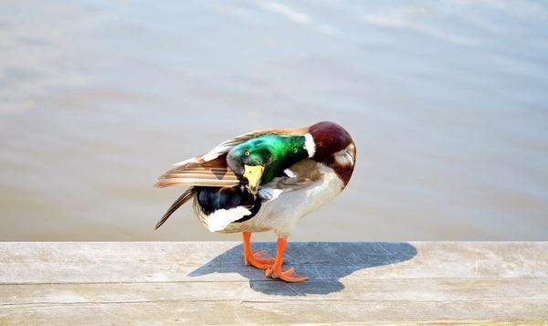 bird duck ducks