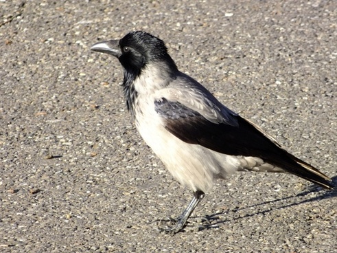 bird game birds magpie