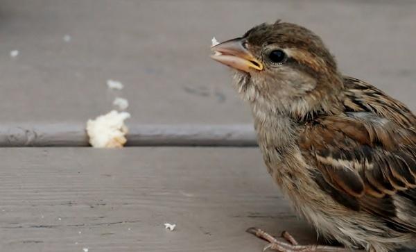 bird gray sparrow