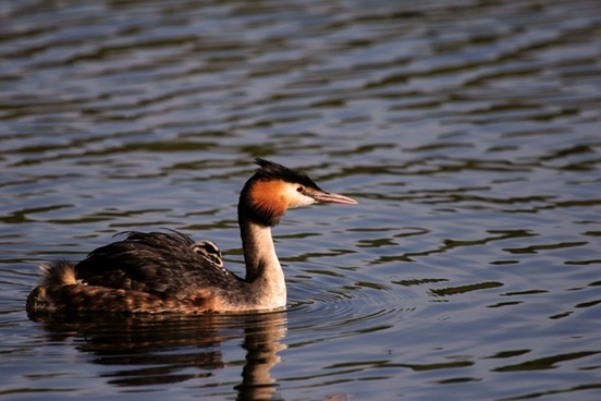 bird grebe great crested with chick feathers