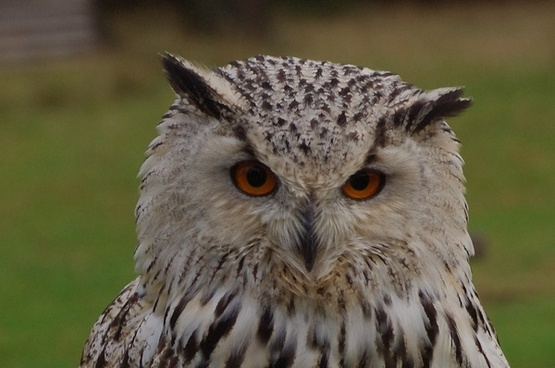 bird owl eagle owl