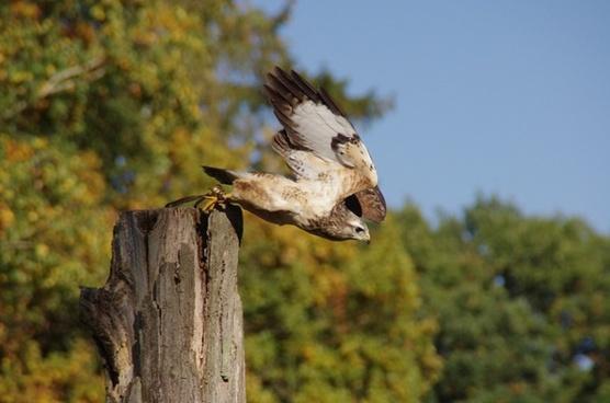 bird raptor buzzard