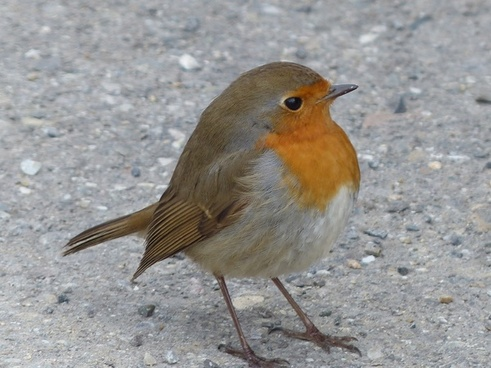 bird robin animal