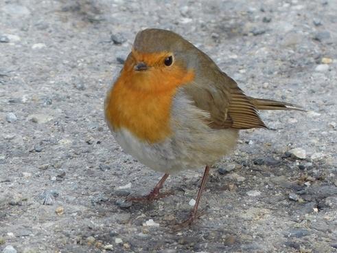 bird robin animal