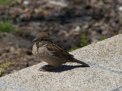 bird sparrow close