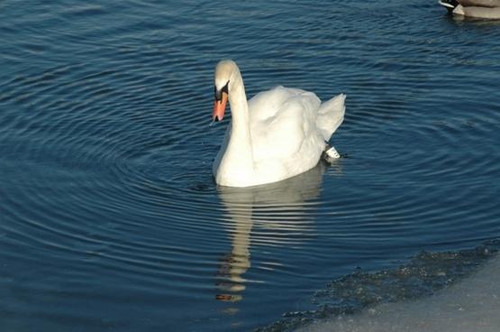 bird swan reflection