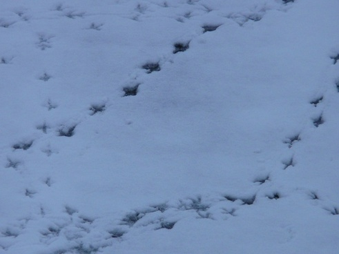 bird tracks animal track reprint