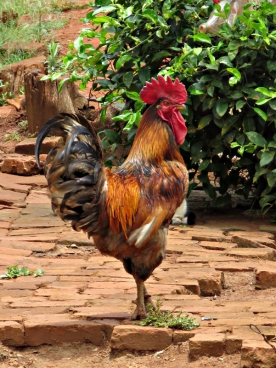 closeup of beautiful cock on ground