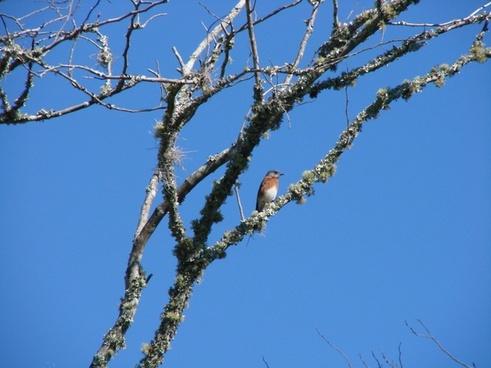 birds eastern blue bird animal